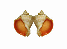 Two seashells Stock Images