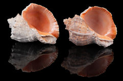 Two seashells on black Stock Photos