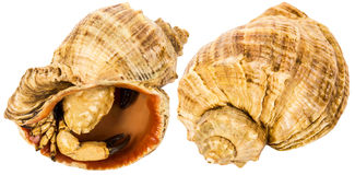 Two seashells with crab Stock Images