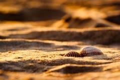 Two seashells on golden sand stock photography