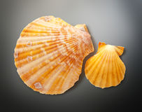 Two seashells Royalty Free Stock Photography
