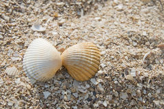 Two seashells kissing Royalty Free Stock Image