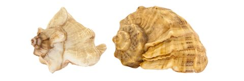 Two seashells of sea shellfish on a white background. Side view. Isolated. royalty free stock photography
