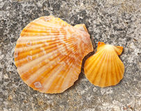Two seashells Royalty Free Stock Images
