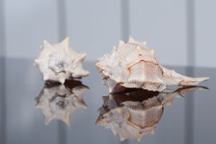 Two seashells with striped background Royalty Free Stock Images