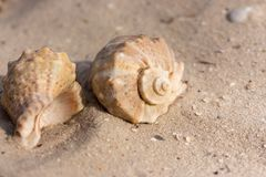 Two seashells on white sand closeup. Shells concept. Marina decoration. Sea life. Tropical life and vacation background. Shells on beach royalty free stock photo