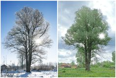 Two season and the same tree. Royalty Free Stock Photos