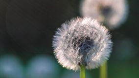 Two seed head of dandelion, sunlight flares flicker on left site, nice round bokeh, close up stock video footage