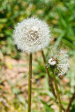 Two seed heads of dandelion blowball Royalty Free Stock Photography