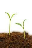 Two seedlings royalty free stock photo