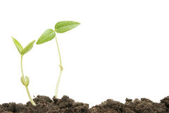 Two seedlings Royalty Free Stock Photos