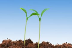 Two seedlings. Illustrating the concept of new life Stock Image