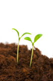 Two seedlings Royalty Free Stock Images