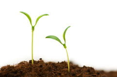 Two seedlings Stock Photography