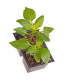 Two seedlings of sweet bell pepper plants Stock Photo