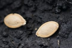 Two seeds in ground Stock Images