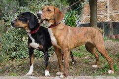 Two segugio maremmano dog on leashes Stock Image