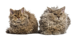 Two Selkirk rex lying, isolated on white. Front view of two Selkirk rex lying, isolated on white Royalty Free Stock Photo