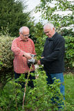 Two senior gardeners. Cutting bush of raspberry Stock Photos