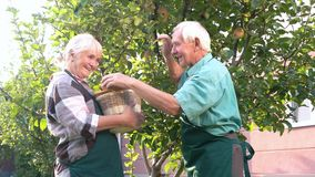 Two senior people picking apples. Woman holding basket and smiling. Fruits of our labor stock video