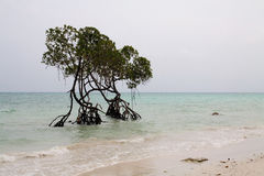 Two Sentinel Mangrove Trees Shoreline Andaman sea. The Vijayanagar Beach on east coast of Havelock island in Andamans is  very calm, but looks disturbed here by Royalty Free Stock Images