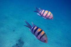 Two sergeant fish Royalty Free Stock Image