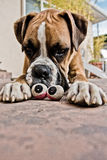 Two Sets of Eyes. Boxer dog staring at another set of staring eyes royalty free stock image