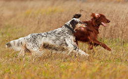 Two setters runs on a green grass Royalty Free Stock Images