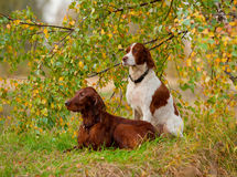 Two setters sits, outdoors Stock Image