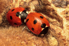 Two Seven-Spot Ladybirds Stock Photography
