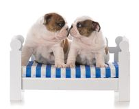 Two seven week old puppies stock image