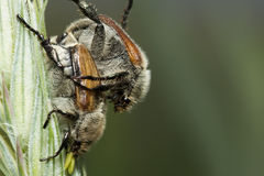 Two shaggy bugs couple on a stalk. Macro Royalty Free Stock Images