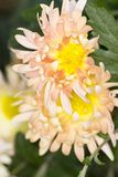 Two shaggy chrysanthemums in the garden stock image