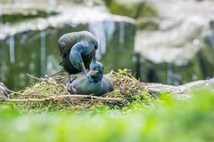 Shags mating. Two shags mating on their clifftop nest in the Farne Islands, May royalty free stock photos