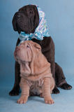 Two Shar-Pei Stock Image