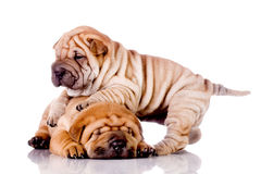 Two Shar Pei baby dogs royalty free stock photo