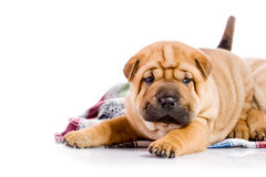 Two Shar Pei baby dogs Stock Images