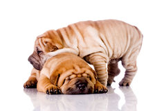 Two Shar Pei baby dogs Stock Photo