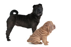 Two Shar-Pei Dogs Stock Photo