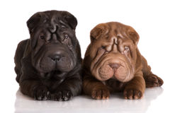 Two shar pei puppies Royalty Free Stock Images