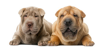 Two Shar Pei puppies in front of a white backgrou. Two Shar Pei puppies (5 months old) in front of a white background royalty free stock image