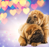 Two shar-pei puppies in love Royalty Free Stock Photography