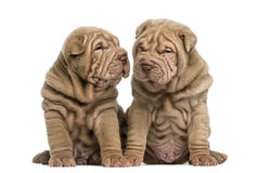 Two Shar Pei puppies sitting together Stock Photo