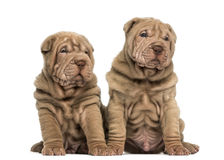 Two Shar Pei puppies sitting together. Isolated on white Stock Images