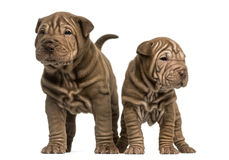 Two Shar Pei puppies standing, isolated on white. Front view of two Shar Pei puppies standing, isolated on white Stock Photography