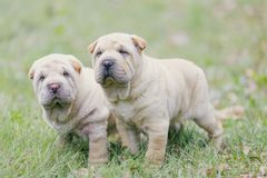 Two Shar Pei puppy stock images