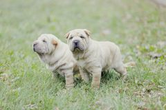 Two Shar Pei puppy Royalty Free Stock Photography