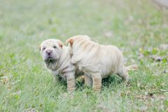 Two Shar Pei puppy Royalty Free Stock Image