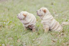 Two Shar Pei puppy Royalty Free Stock Images