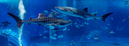 Two Shark Whale swim in opposite site. In large Aquarium tank in Okinawa stock image